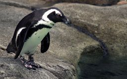 Pingwin przy zoo Zdjęcia Royalty Free