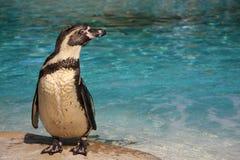 Pingwin przy zoo nawadnia krawędź Zdjęcia Stock