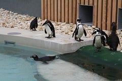 Pingwin rodzina Zdjęcia Royalty Free