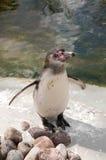 Pingwin (Spheniscus humboldti) Obrazy Stock