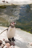 Pingwin (Spheniscus humboldti) zdjęcie stock
