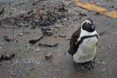 Pingwin w Hermanus, Ogrodowa trasa, Zachodni przylądek, Południowa Afryka Obrazy Stock