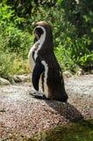 Pingwin w Rosyjskim zoo Zdjęcia Royalty Free