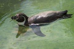 Pingwin w Rosyjskim zoo Zdjęcie Royalty Free