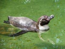 Pingwin w Rosyjskim zoo Obraz Royalty Free