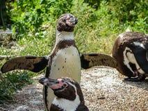 Pingwin w Rosyjskim zoo Obrazy Stock