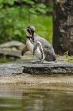Pingwin w zoo Obrazy Stock