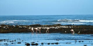 Pingwin wyspy, Luderitz zatoka, Namibia Zdjęcie Royalty Free
