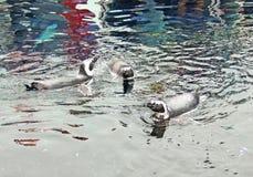 Pingwinu dopłynięcie Zdjęcia Royalty Free