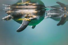 pingwinu dopłynięcie w wodzie obrazy royalty free