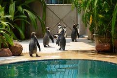 Pingwinu grupowy odprowadzenie Zdjęcie Royalty Free