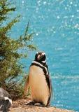 Pingwinu Magellanic przód z morzem w tle fotografia stock