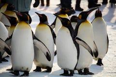 Pingwinu marsz przy Asahiyama zoo, hokkaido Zdjęcie Royalty Free