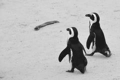 Pingwinu miesiąc miodowy fotografia royalty free