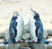 pingwinu przyglądający się kolor żółty Obraz Stock