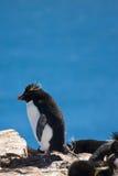 pingwinu rockhopper Zdjęcie Royalty Free