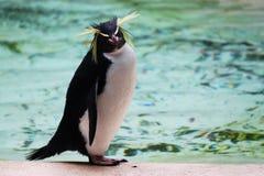 pingwinu rockhopper zoo zdjęcia stock