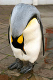 pingwinu royalin Fotografia Stock