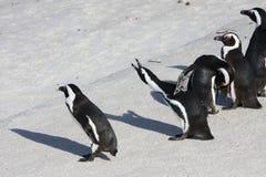 pingwiny Zdjęcia Royalty Free