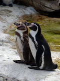 pingwiny Obrazy Stock