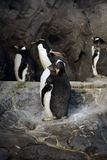 pingwiny Zdjęcie Royalty Free
