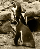 pingwiny Obrazy Royalty Free