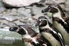 pingwiny Zdjęcia Stock