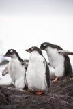pingwiny 3 Obraz Royalty Free