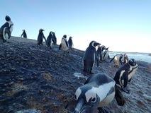 pingwiny Fotografia Stock