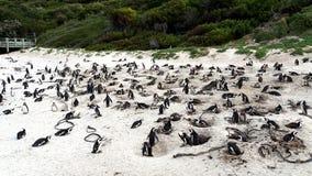 pingwiny afryce południowy Zdjęcia Stock