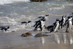 pingwiny afryki fotografia stock