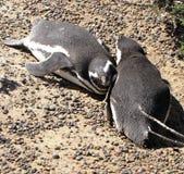 Pingwiny cieszy się światło słoneczne w Punta Tombo, Argentyna Obrazy Stock