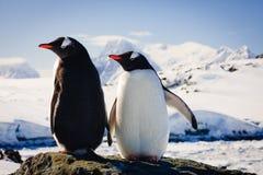 pingwiny dwa Obrazy Stock