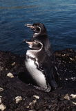 pingwiny galapagos fotografia stock