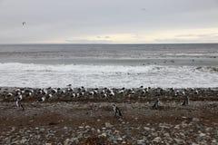 Pingwiny i Seagulls Obrazy Royalty Free