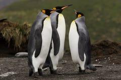 pingwiny króla Obrazy Royalty Free