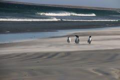 pingwiny magellanic Fotografia Royalty Free