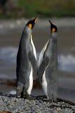 pingwiny miłości. Fotografia Royalty Free