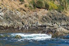 Pingwiny na Chiloé zdjęcie stock