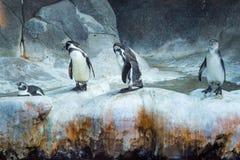 Pingwiny na lodzie, grupa cztery obrazy stock