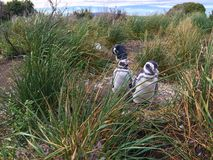Pingwiny na Martillo wyspy Magellanic pingwinu rookery obrazy stock