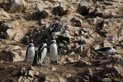 Pingwiny od Islas Ballestas fotografia stock
