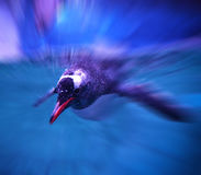 pingwiny pływać fotografia stock