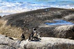 Pingwiny przy głaz plażą afryce kanonkop słynnych góry do południowego malowniczego winnicę wiosna Obraz Stock