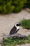 Pingwiny przy głaz plażą, Południowa Afryka Zdjęcie Stock