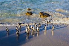 Pingwiny przy głazami Wyrzucać na brzeg, Simon ` s miasteczko, Południowa Afryka obraz stock