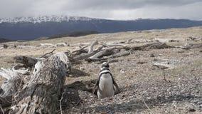 Pingwiny przy Isla Martillo, Beagle Korytkowy Ushuaia Patagonia Tierra Del Fuego Argentyna obraz stock