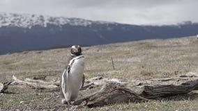 Pingwiny przy Isla Martillo, Beagle Korytkowy Ushuaia Patagonia Tierra Del Fuego Argentyna fotografia royalty free