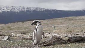 Pingwiny przy Isla Martillo, Beagle Korytkowy Ushuaia Patagonia Tierra Del Fuego Argentyna zdjęcie stock