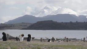 Pingwiny przy Isla Martillo, Beagle Korytkowy Ushuaia Patagonia Tierra Del Fuego Argentyna obrazy stock